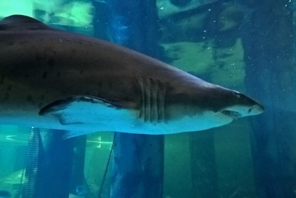 dove vedere gli squali in italia. acquari con gli squali