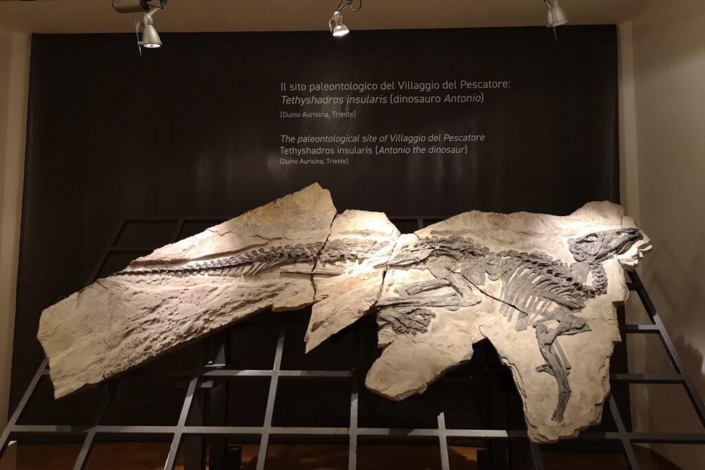 Antonio fossile di dinosauro a Trieste